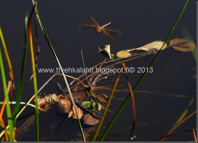 perhonen  sudenkorentoja 141