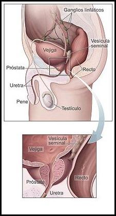 220px-Prostata