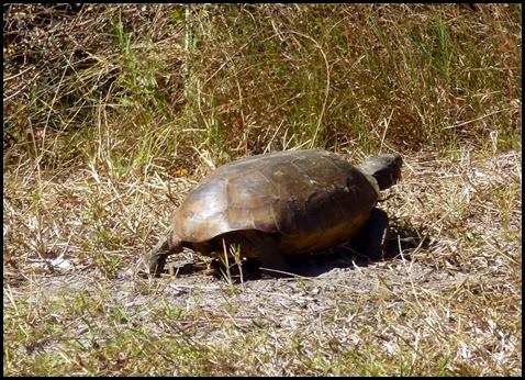 01 - another gopher tortoise