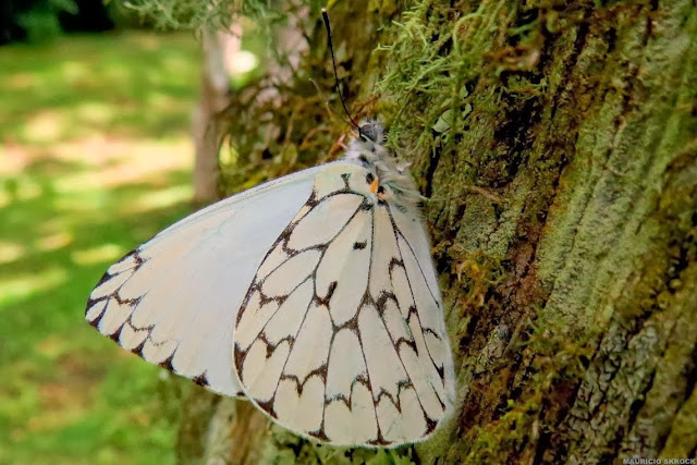 Hesperocharis erota (LUCAS, 1852). Curitiba (Paraná, Brésil), 15 décembre 2013. Photo : Mauricio Skrock