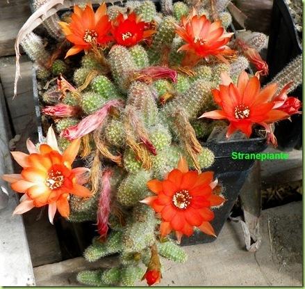 Echinopsis chamaecereus Sin. Chamaecereus silvestrii in fiore