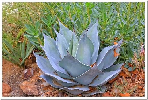 141030_Agave-ovatifolia-Frosty-Blue_001