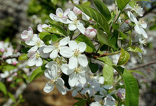 flor da macieira 2 - Gloria Ishizaka