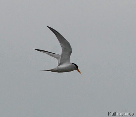 8. common tern-kab