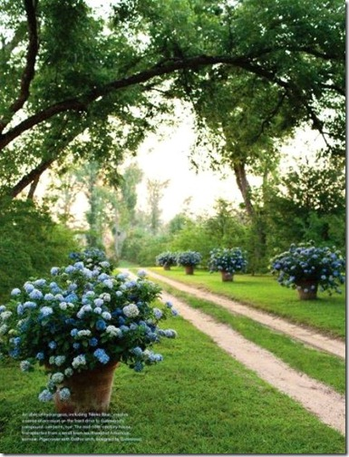 hydrangeas in pots lining drive