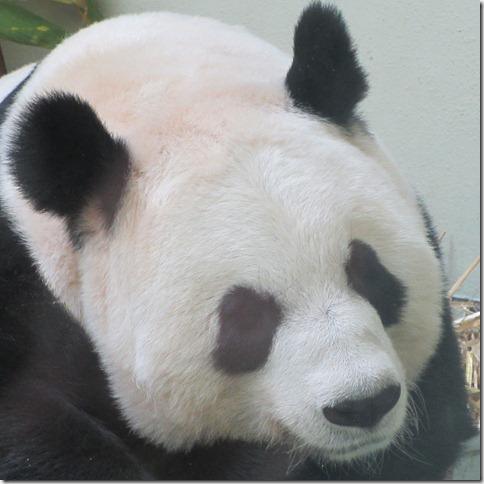 panda-she