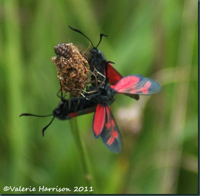 29-six-spot-burnets-1