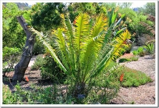 150325_SDBG_0029_Encephalartos-paucidentatus