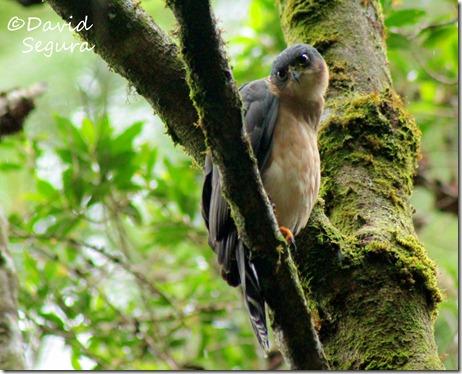 Accipiter bicolor (2)