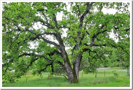 130407_Redding_Quercus-lobata_16