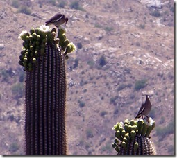 Saguaro and Whitewinged Doves