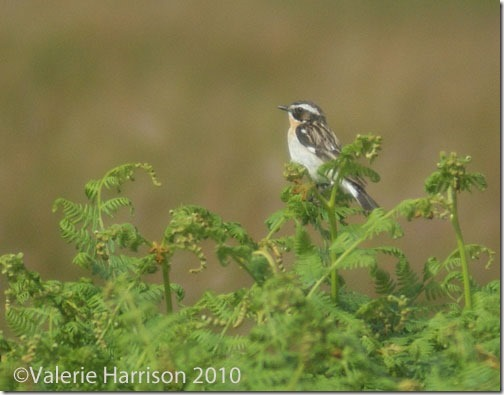 20-male-whinchat