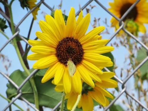 SunflowersalongtheFence-2-2013-08-29-16-31.jpg