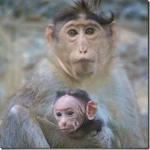 Bonnet Macaque Autor Mauoscar