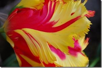 tulipa DSC_0391DSC_03922
