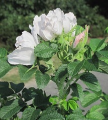 Cape Cod wild white CC rose