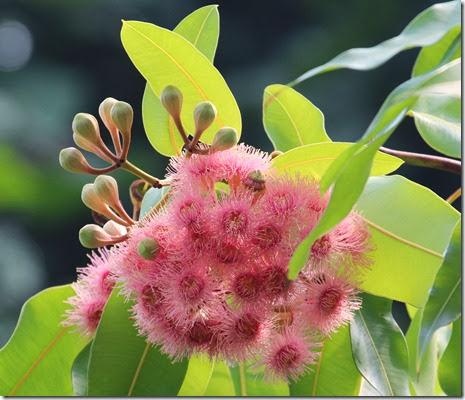 eucalyptus ptychocarpa (2)