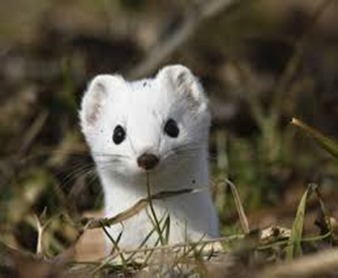 Amazing Pictures of Animals, photo, Nature, exotic, funny, incredibel, Zoo, Stoat, Mustela erminea, Alex (9)