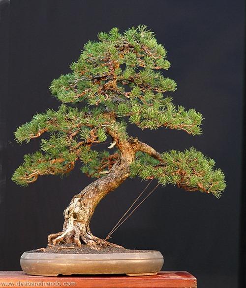 bonsais arvores em miniatura desbaratinando (11)