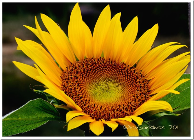 sunflower-with-four-more-fr