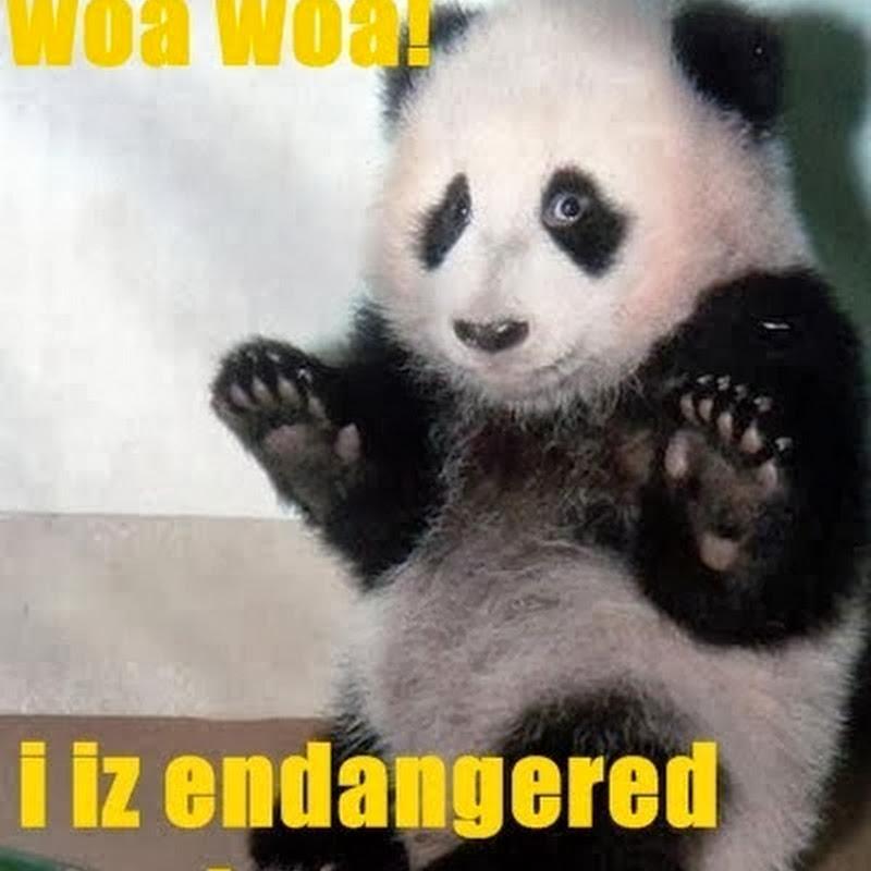 Ekspresi Panda Sebelum Disuntik