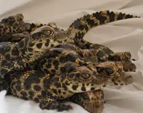 Amazing Pictures of Animals, Photo, Nature, Incredibel, Funny, Zoo, West African, crocodile desert crocodile, Crocodylus suchus, Alex (4)