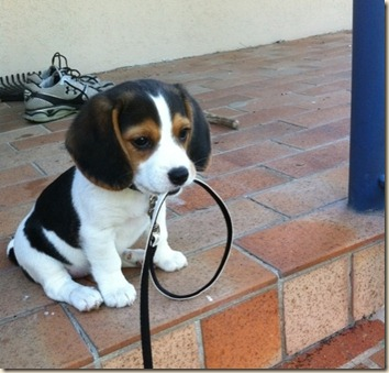 BeaglePuppyWalkies