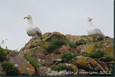 35-herring-gulls