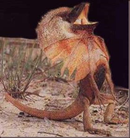 Amazing Animal Pictures Frill Necked Lizard (6)