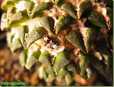 Ariocarpus kotschoubeyanus figlio