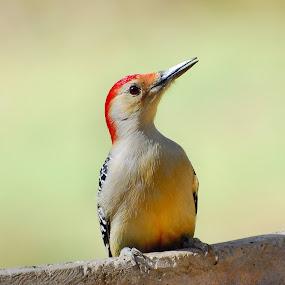 Red-bellied Woodpecker by Liz Crono - Animals Birds ( red, woodpeckers, birds )