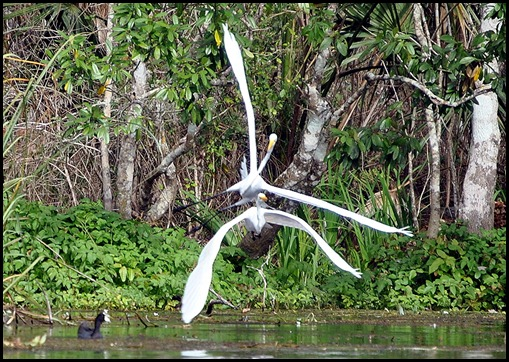 08 - Animals - Great Egret 4