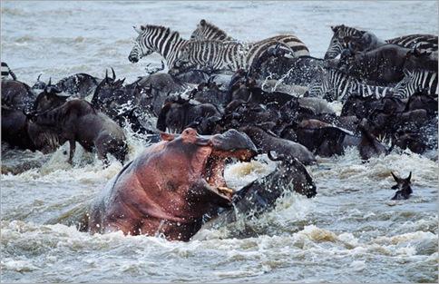 hippo-wildebeest_1536339i