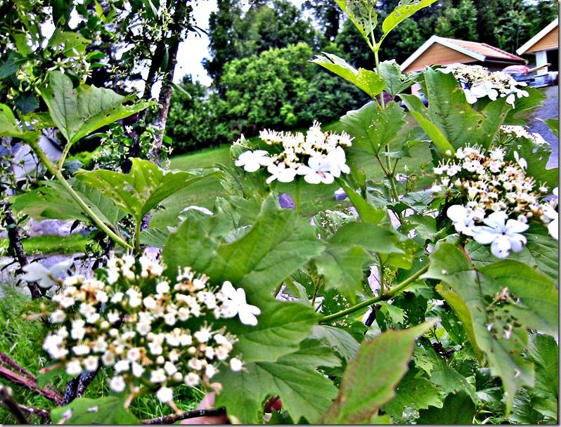 busk 2m hvit bl klatrehortensia lign-