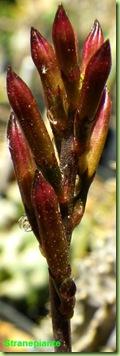 Adromischus subdistichus boccioli