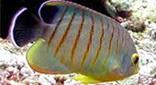 Biodiversité poisson-ange d'Eibl