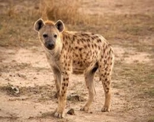Amazing Pictures of Animals, Photo, Nature, Incredibel, Funny, Zoo, Hyena, Mammals, Alex (7)