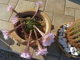 kaktus_blüte_06
