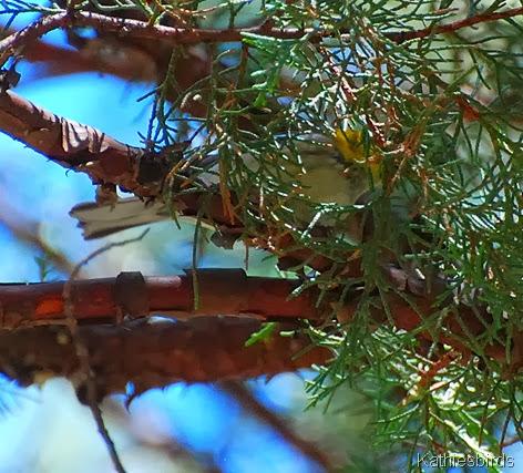 1. what warbler-kab