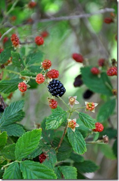 blackberries in the shade! 051412 (1)