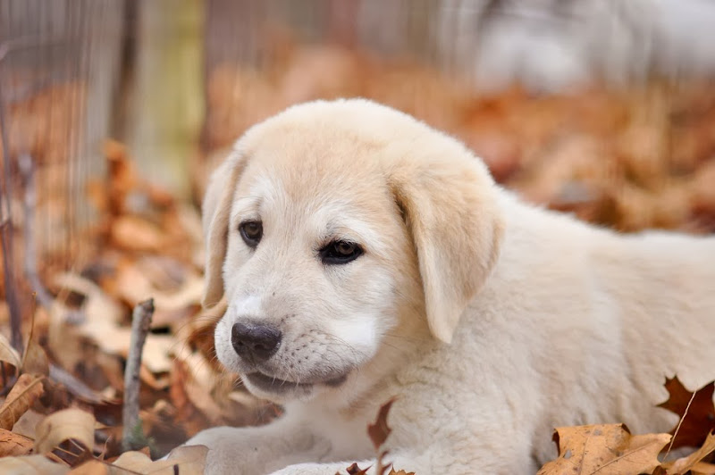 great Pyrenees Anatolian mix puppy