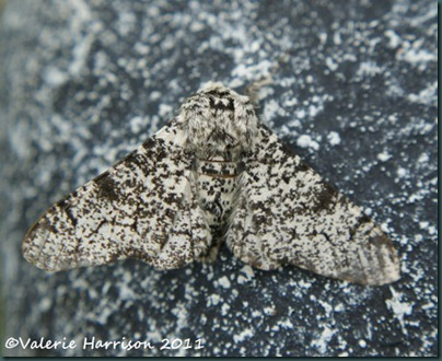 peppered-moth