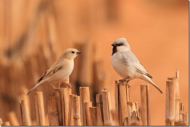 desert_sparrow-1