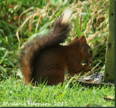22 red-squirrel-black-tail-2
