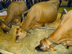 2015.02.26-061 vache jersiaise