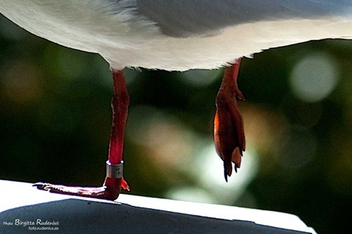bird_20110628_skrattmas1aa