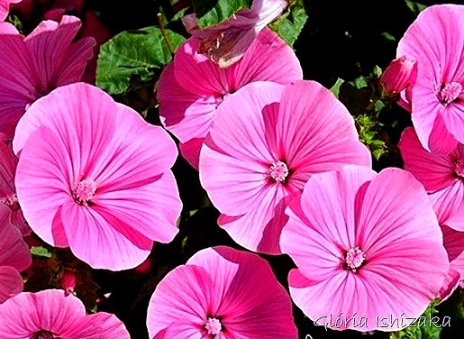 Glória Ishizaka - flor 8