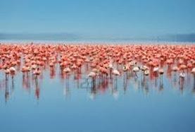 Amazing Pictures of Animals, Photo, Nature, Incredibel, Funny, Zoo, Flamingos or Flamingoes, Phoenicopteridae,  Aves, Bird, Alex (15)