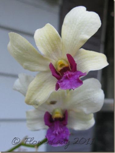 06-11-doug-orchid