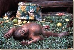 chimp_taking_a_nap